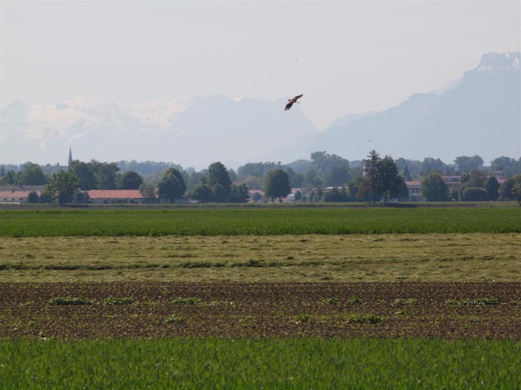 Ein Kiebitz schwebt über dem geplanten neuen Gewerbegebiet für die Firma Brückner.